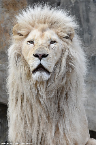African white lion - Ouwehands Dierenpark