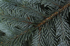 Needles of conifers and larches