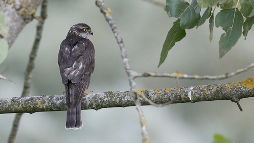 Épervier d'Europe Accipiter nisus - Eurasian Sparrowhawk