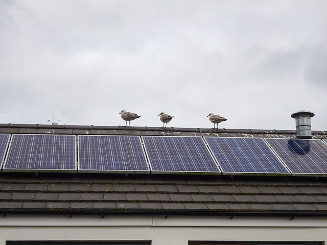 Three herring-gulls on a roof, 2018 Aug 07