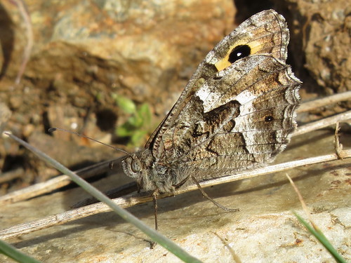 Hipparchia semele (Grayling)