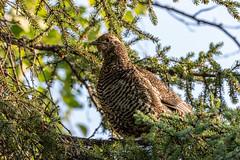 Image by spwasilla (spwasilla) and image name Spruce grouse photo