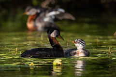 Image by spwasilla (spwasilla) and image name A family moment photo  about Red-necked grebes