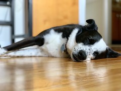 Image by valatal (vmolloy) and image name Maddy can't even...here's to afternoon naps #bordercollie #bordercolliemix photo