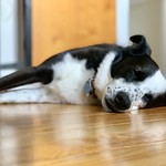 Maddy can't even...here's to afternoon naps #bordercollie #bordercolliemix
