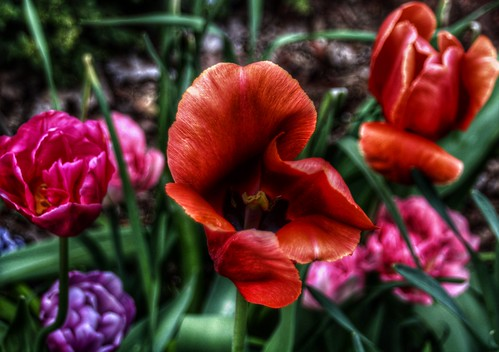 Toronto Ontario ~ Canada ~ Edwards Gardens ~ Botanical Garden ~  Red  Tulips Blowing in the Wind