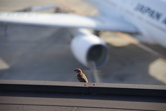 Sparrow at airport