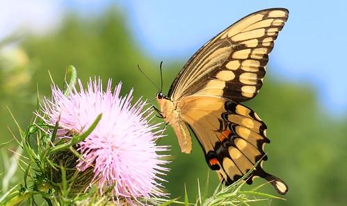 giant swallowtail at Cardinal Marsh IA 653A3224