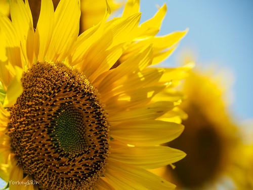 2019 Sunflower #4