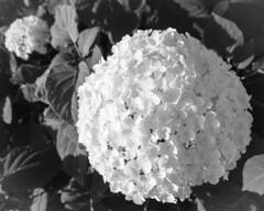 Hydrangea, Duluth Rose Garden 8/12/19 #flowers #bnw #monochrome