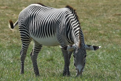 Endangered Grevy's Zebra at The Wilds