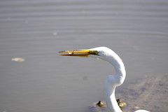 Great Egret, lunch time