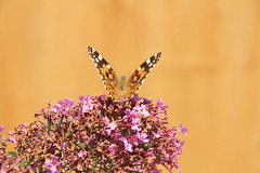 Butterfly in the wild garden
