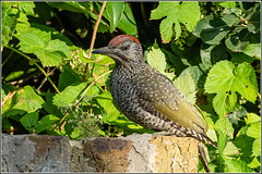 Juvenile Green Woodpecker (Picus viridis)
