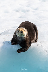 Image by spwasilla (spwasilla) and image name Sea otter photo
