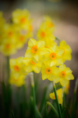 gorgeous daffodils at red butte