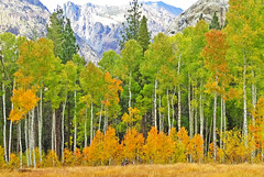 Looking Forward to Fall, Aspen Grove, Sierra Nevada, CA 2016