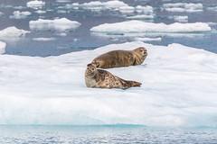 Image by spwasilla (spwasilla) and image name Harbor seals photo