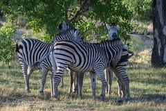 Steppenzebras / Plains Zebras