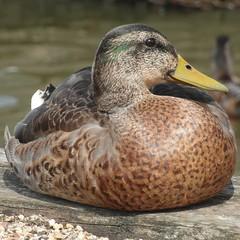 Birds - Swans, ducks, geese