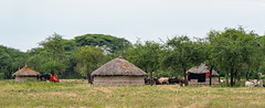 Maasai homestead, ranch
