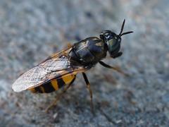 Odontomyia annulata ♀, Vallée du Dourdon, Le Collet-de-Dèze, Lozère, France - Photo of Saint-Andéol-de-Clerguemort