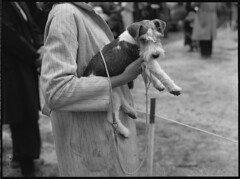 Image by State Library of New South Wales collection (statelibraryofnsw) and image name Terrier, St. Ives Dog Show, 18 March, 1950, Pix Magazine, State Library of New South Wales photo  about Annual Dog Show, St Ives, Sydney, 18 March, 1950, Pix Magazine, State Library of New South Wales, ON 388/Box 004/Item 032 archival.sl.nsw.gov.au/Details/archive/110585570
