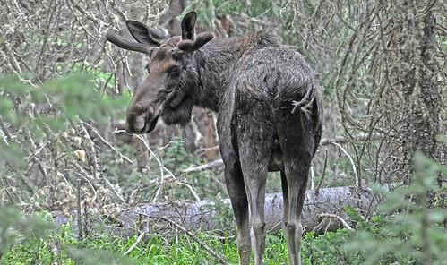 Moose Look RMNP DSC_5954