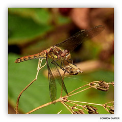 Common Darter Dragonfly.  Sympetrum striolatum. In Explore.