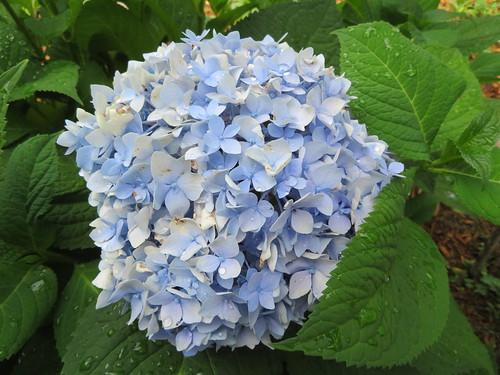 ** Fleurs d'hydrangée bleue **