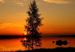 The birch....