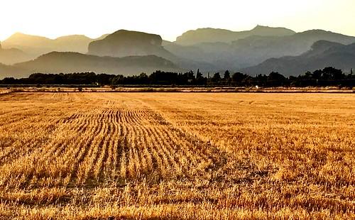 Dorados campos