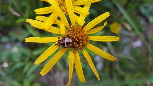 Arnika (Arnica montana) (1)