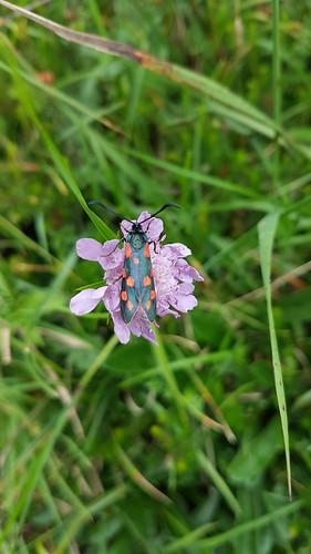 Gemeines Blutströpfchen (Zygaena filipendulae) (2)