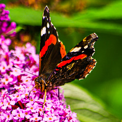 Red Admiral Posing