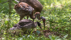Adopted Canada Gosling, Mom Sandhill Crane, and Brother Sandhill Crane Colt  ~ Branta canadensis and Antigone canadensis ~ Kensington Metropark, Michigan