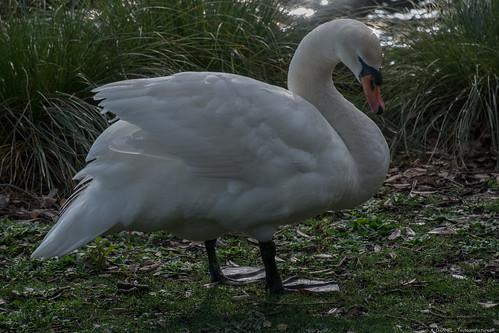 White Swan - Virginia Lake Reserve - Wanganui