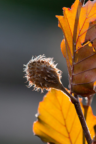 beech nut in the backlight