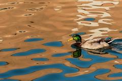 Artist Duck