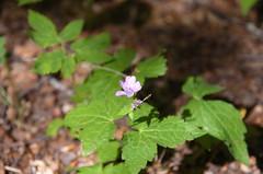 monte caio flower