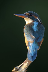 Image by peterspencer49 (35972709@N03) and image name Kingfisher (f) photo  about This young female Kingfisher has won the rights to the lake this year here in Somerset , she has seen off a few others looking for the fishing rights. I captured her in some wonderful sunlight late this evening.