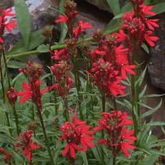 H20120823-5379—Lobelia cardinalis--RPBG