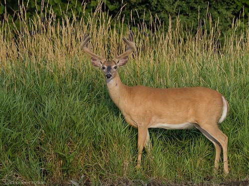 Big Buck!! White-tailed Deer.