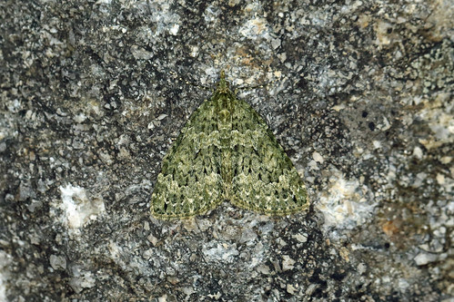 70.096 Autumn Green Carpet (Chloroclysta miata), Muir of Dinnet NNR, Aberdeenshire