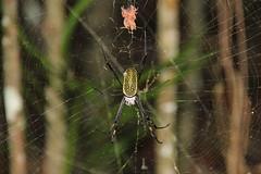 Aranha fio de ouro (Nephila clavipes)