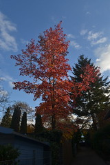 Roter Baum in Bonn-Lengsdorf (135FJAKA_2451)