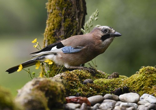 A Jay on the lookout .