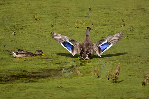 Mallard drake getting some air on a warm summer afternoon