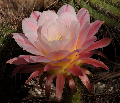 """First Light"" bloom in the Cactus & Succulent Garden, Tucson Botanical Gardens"