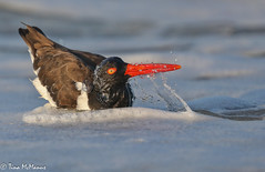 Image by NorthShoreTina (northshoretina) and image name Bathing Beauty photo  about American Oyster Catcher